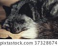 福克斯,狐狸,狐狸狐狸 37328674