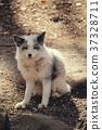 狼,白金狐狸,狐狸狐狸 37328711