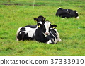 cow, cattle, cows 37333910