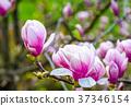 Magnolia flower blossom in spring 37346154