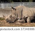 犀牛 動物 哺乳動物 37346986