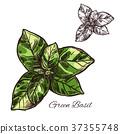 罗勒属植物 罗勒 绿色 37355748