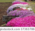 이시가키, 꽃, 식물 37363786