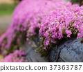 화단, 핑크, 꽃 37363787
