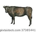奶牛 水彩 水彩画 37365441