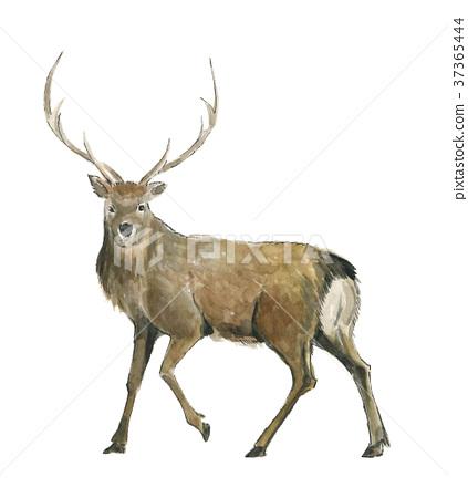 鹿 水彩 水彩畫 37365444