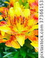 yellow and red lily flower blossom close up 37366153