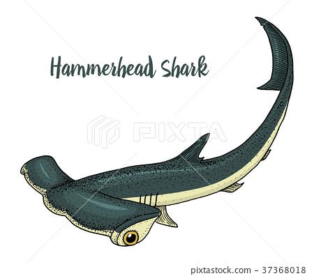 sea creature hammerhead shark. engraved hand drawn 37368018