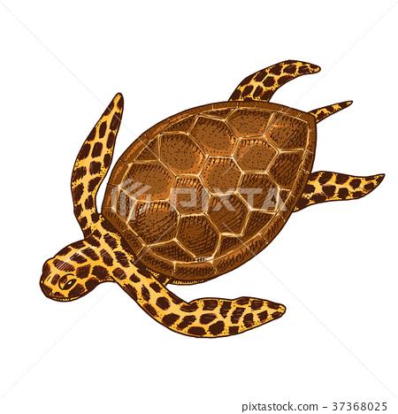 sea creature cheloniidae or green turtle. engraved 37368025