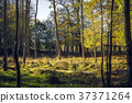 Trees with yellow leaves in the fall 37371264