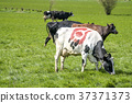 Holstein Frieser cow with the danish ecology stamp 37371373