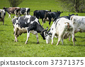 Cattle on grass in the spring playing around 37371375