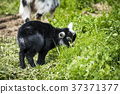 Little black goat youngster in black color 37371377