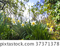 Daffodil flowers in white colors 37371378