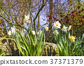 White daffodil flowers in a garden 37371379
