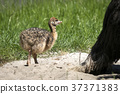 Ostrich youngster in a sand dune 37371383