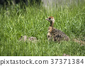 Young ostrich bird hiding in the grass 37371384