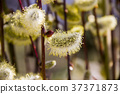 willow catkins 37371873