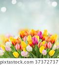 tulips in garden 37372737