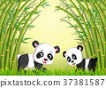 two cute panda in a bamboo forest 37381587