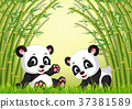 two cute panda in a bamboo forest 37381589