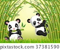 two cute panda in a bamboo forest 37381590