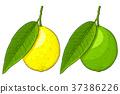 lemon leaf vector 37386226
