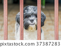 cute Shih Tzu dogs on fenced windowsill, 37387283