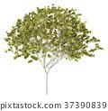 norway maple tree isolated on white background 37390839