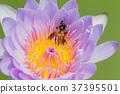 Selective focus of bee on purple lotus 37395501