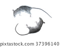 Close up small rat,  laboratory black mouse 37396140