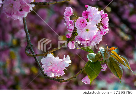 pink blossomed sakura flowers with blur 37398760