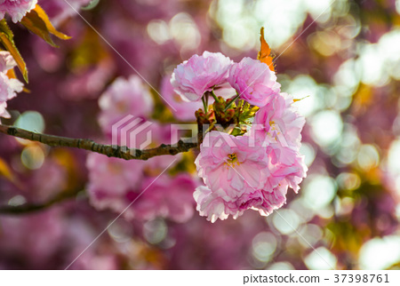 pink blossomed sakura flowers with blur 37398761