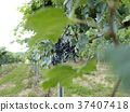 grape, plantation, grapevine trellis 37407418