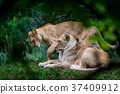 Two female lions 37409912
