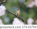 common, kingfisher, wild 37410794