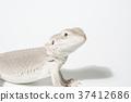 爬行動物 爬蟲類的 大鬍子龍 37412686