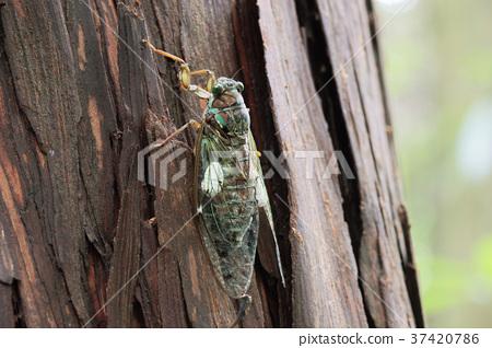 매미 기생 나방의 유충에 기생 된 쓰르라미 37420786