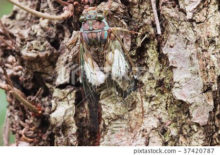 매미 기생 나방의 유충에 기생 된 쓰르라미 업 37420787