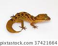 Clouded ground gecko, Cyrtodactylus nebulosus 37421664