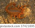 Fat tailed scorpion, Hottentotta rugiscutis 37421695