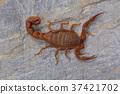 Fat tailed scorpion Hottentotta rugiscutis 37421702