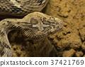 Sochurek's Saw-scaled Viper, Echis Carinatus  37421769