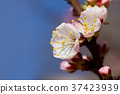 White cherry flowers 37423939