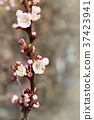 White cherry flowers 37423941