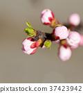 White cherry flowers 37423942