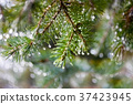 Pine twig with raindrops 37423945