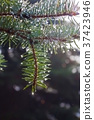 Pine twig with raindrops 37423946