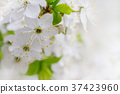 White cherry flowers 37423960
