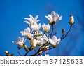 magnolia flowers on a blue sky background 37425623